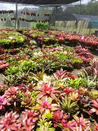 Wildfire Garden Bromeliad Nursery