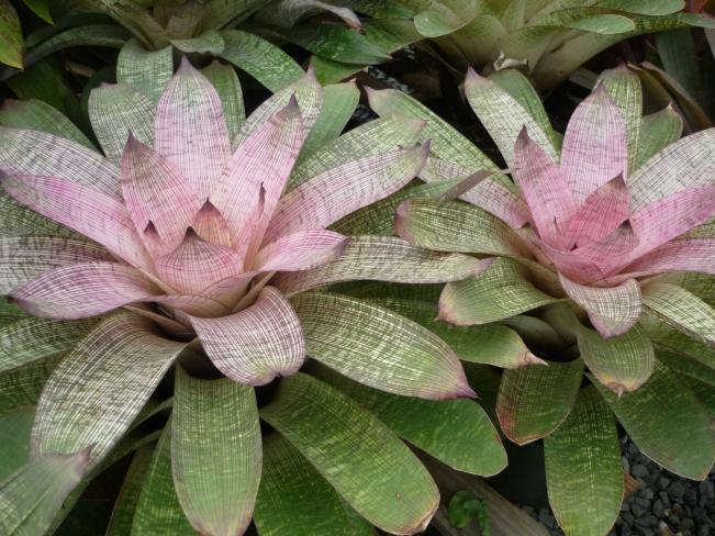 Vriesea Vinzant hybrid