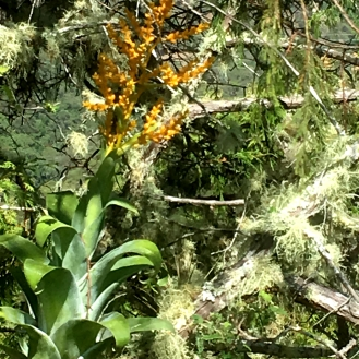 Catopsis Subulata: Wildfire Garden Mexican Adventure