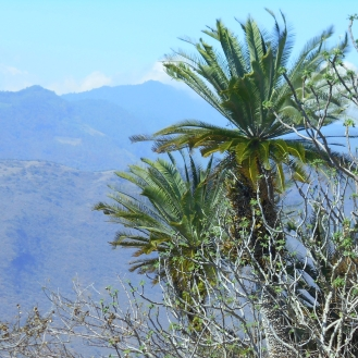 Cycads in the wild: Wildfire Garden Mexican Adventure
