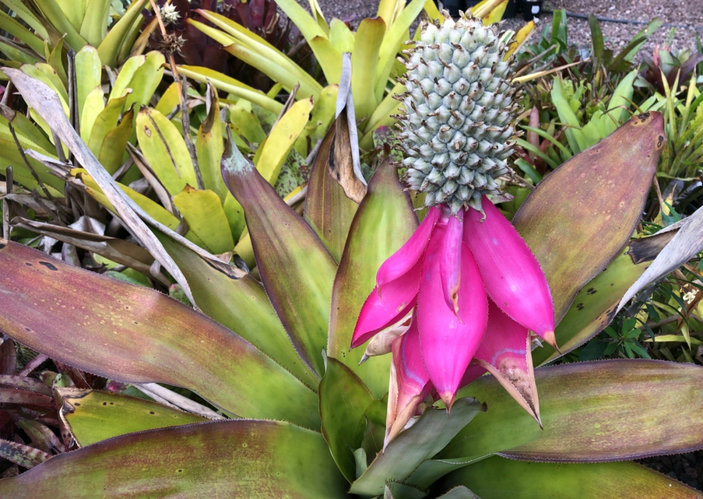 Wildfire Garden Bromeliads Aechmea in flower