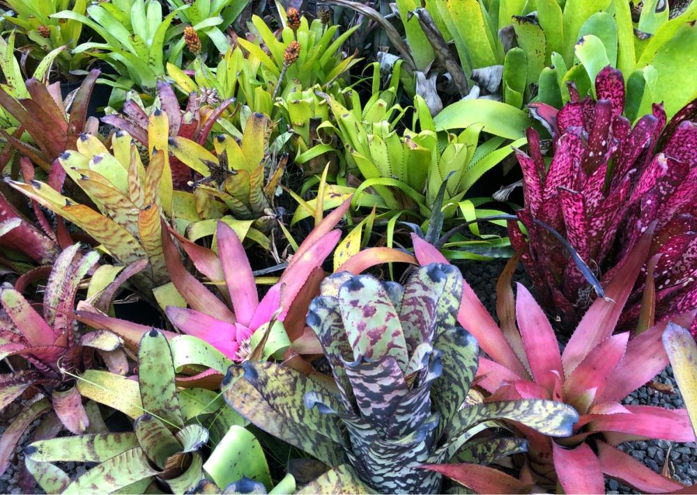Wildfire Garden Bromeliads