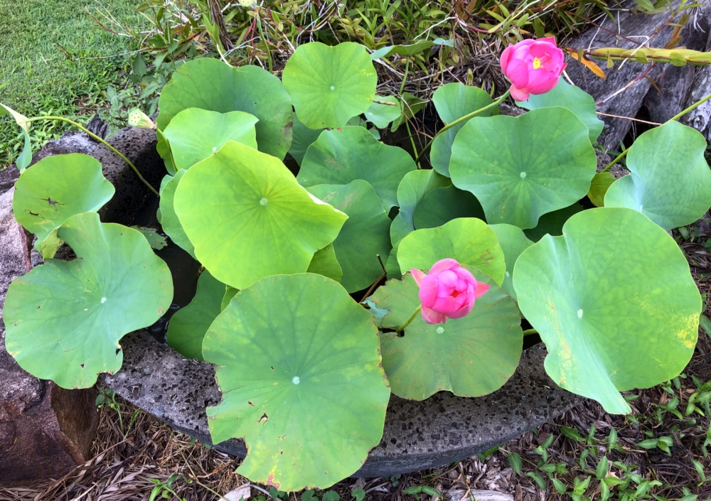 Wildfire Garden Lotus Flowers