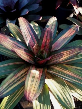 Wildfire Garden Bromeliads Alcantareas