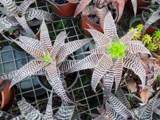 Wildfire Orthopytums_